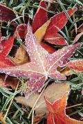 Frost Photos - Fall Colored Leaves Covered In Frost by Craig Tuttle