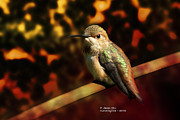 Rateitart Posters - Fall Colors - Allens Hummingbird Poster by James Ahn