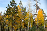 Fall Colors Aspen Print by Pamela Walrath
