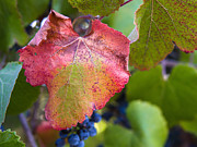Grape Leaf Prints - Fall colors Print by Eric Acuna