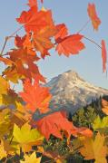 Crisp Framed Prints - Fall Colors From Bonney Butte Mt Hood Framed Print by Dan Sherwood