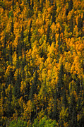 Yukon Territory Photos - Fall Colors In A Forest by Nick Norman