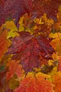 Colors Of Autumn Prints - Fall Colors In Maple Leaves, Ontario Print by Robert Postma