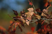 Autumn Foliage Photos - Fall Colors by Karol  Livote