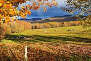 Fall Colours, Cows In Field And Mont Print by Yves Marcoux