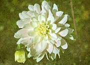 Dahlias - Fall Dahlia by Cathie Tyler