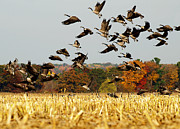Canadian Geese Art - Fall Feast by Thomas Young