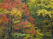Fishers Posters - Fall Foliage At Fishers Gap Shenandoah Poster by Tim Fitzharris