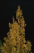Light And Dark   Prints - Fall Foliage Decorates A Quaking Aspen Print by Marc Moritsch