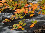 Rushing Water Prints - Fall Foliage in Acadia National Park  Print by Juergen Roth
