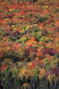 New Hampshire Posters - Fall Foliage In New Hampshires White Poster by Richard Nowitz