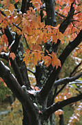 Walden Pond Photo Posters - Fall Foliage Of Maple Tree After An Poster by Tim Laman