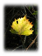 Grape Leaf Framed Prints - Fall Grape Leaf 2 Framed Print by Warren Thompson