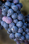 Pinot Noir Photos - Fall grapes by Jean Noren