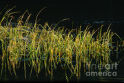 Fall Grasses - Snake River Print by Sandra Bronstein