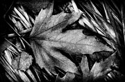 Fallen Leaf Posters - Fall in Black and White Poster by Wenata Babkowski