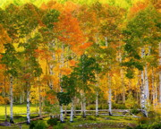 Fall Leaves Posters - Fall in Colorado Poster by Tom Cheatham