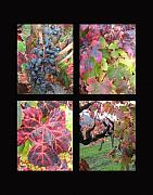 Purple Grapes Prints - Fall in the vineyards Print by Kim Pascu