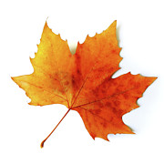 Autumn Leaf Posters - Fall Leaf Poster by Carlos Caetano