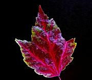 Red Leaf Framed Prints - Fall Leaf Still Life 3 Framed Print by Robert Ullmann