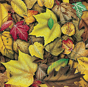 Oak Tree Paintings - Fall Leaf Study by JQ Licensing