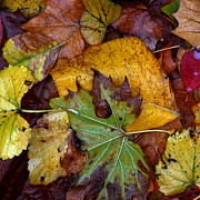 Fall Photographs Posters - Fall Leaves 1 Poster by Skip Willits