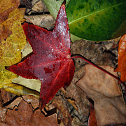 Fall Photographs Posters - Fall Leaves 2 Poster by Skip Willits