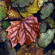 Fall Photographs Posters - Fall Leaves 3 Poster by Skip Willits