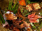 Fall Photographs Posters - Fall Leaves 5 Poster by Skip Willits