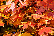 Fall Trees Posters - Fall leaves Poster by Anthony Citro