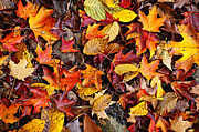 Multicolored Posters - Fall leaves background Poster by Elena Elisseeva