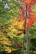 Peter J Sucy Metal Prints - Fall Leaves Berkshires Metal Print by Peter J Sucy