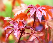 Red Maple Leaves Prints - Fall Leaves Print by Elizabeth Budd