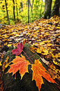 Fallen Leaf Photo Posters - Fall leaves in forest Poster by Elena Elisseeva