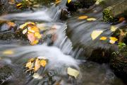 Colors Of Autumn Prints - Fall Leaves In Rushing Water Print by Craig Tuttle