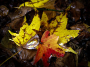 New Jersey Prints - Fall Leaves Print by Louis Dallara