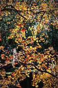 Florida Pond Posters - Fall Leaves over Florida Pond Poster by Carol Groenen