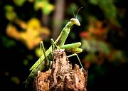 Vacation Digital Art Framed Prints - Fall Mantis Framed Print by Karen M Scovill
