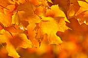 Backlit Photo Posters - Fall maple leaves Poster by Elena Elisseeva