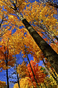 Autumn Woods Posters - Fall maple trees Poster by Elena Elisseeva