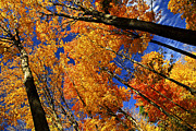 Sunlight Metal Prints - Fall maple treetops Metal Print by Elena Elisseeva