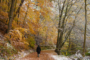 Yellow Leaves Posters - Fall meets winter - walking in the forest Poster by Matthias Hauser