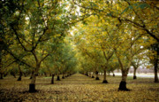 Tree Greeting Cards Posters - Fall Orchard Poster by Kathy Yates