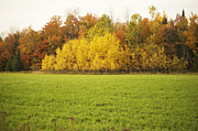 Poplar Forest Photo Metal Prints - Fall Poplars Metal Print by Elaine Mikkelstrup
