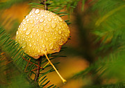 Forest Originals - Fall Raindrops by Adam Pender