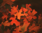 Jordan Minton - Fall Red Oak Leaves
