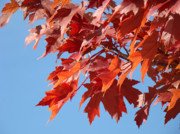 Red Leaves Photos - Fall Red Orange Leaves Blue Sky Baslee Troutman by Baslee Troutman Fine Art Photography