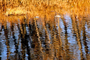 River Greeting Cards Prints - Fall Reflection On The Poudre River Print by James Steele