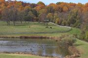 Group Of Horses Prints - Fall Scenic Of Horse Farm And Pond Print by George Grall