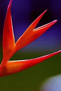 Heliconia Framed Prints - Fall Together Framed Print by Melanie Moraga